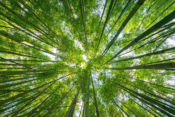 Des bambous vus du sol vers le ciel